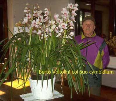 Orchidea cura in casa interesting esemplari di orchidee coltivate in vaso dentro casa with - Orchidee da esterno ...